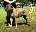 Canary Mastiff red-brindle.JPG