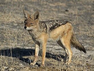 Jackal - Image: Canis mesomelas