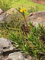 Cape Peninsula Rambling Aloe in flower - SA.jpg