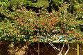 Carbonero rojo (Calliandra hematocephala) (14722994673).jpg