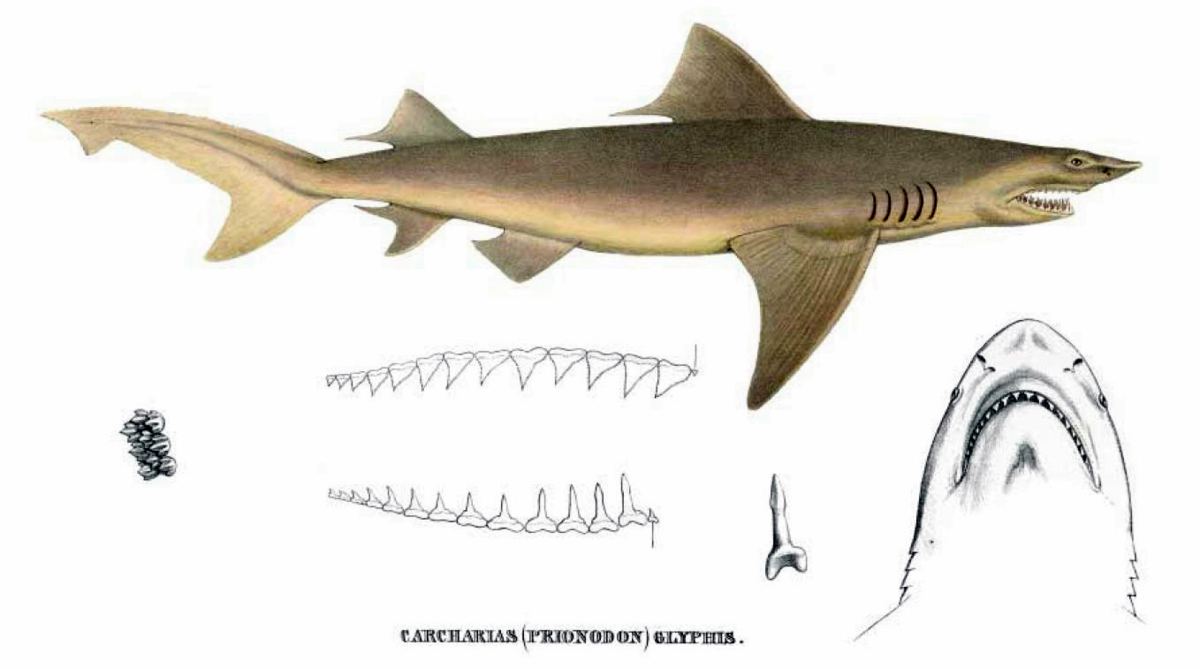Shark Pictures Photos of Rare and Common