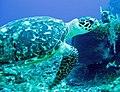 Caretta caretta (loggerhead sea turtle) (Grand Cayman Island, Caribbean Sea) 2.jpg