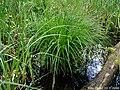 Carex-montana-habitus.JPG