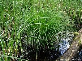 Как выглядит трава Осока (7 фото), декоративная и дикая
