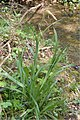 Carex pendula plant (19).jpg