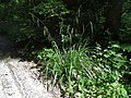 Carex pendula plant (22).jpg
