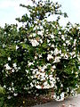 Carissa grandiflora 1c.JPG
