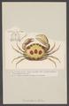 Carpilius maculatus - - Print - Iconographia Zoologica - Special Collections University of Amsterdam - UBAINV0274 006 01 0027.tif