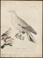 Carpophaga luctuosa - 1700-1880 - Print - Iconographia Zoologica - Special Collections University of Amsterdam - UBA01 IZ15600107.tif