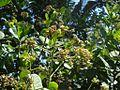 Cashew2-flower.JPG