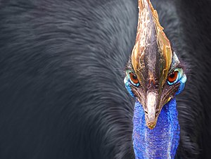 Cassowary - Close-up of the head of a southern cassowary