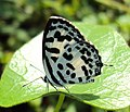 Castalius rosimon - Common Pierrot 10.JPG