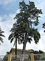 Casuarina equisetifolia (Boulevard de Garavan).jpg