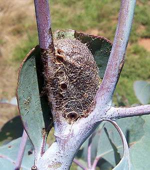 Pupa - The tough brown cocoon of an emperor gum moth