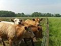Cattle, Ochtertyre - geograph.org.uk - 185322.jpg