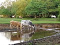Cattle drinking at Pottern Ford, New Forest - geograph.org.uk - 182753.jpg