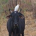 Cattle egret on cattle.jpg