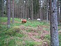 Cattle on the edge of Rhindbuckie Wood - geograph.org.uk - 445018.jpg
