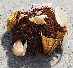 Cayo Costa State Park - Image: Cayo Costa SP Sea Urchin 01