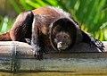 Cebus robustus (Crested capuchin monkey).jpg