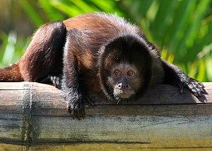 Capuchin monkey - Crested capuchin (Sapajus robustus)