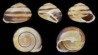 Cepaea hortensis - Shell 20.jpg