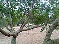 Ceratonia siliqua p3.jpg