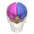 Cerebral hemisphere - 01.png