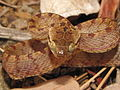 Ceylonese Cat Snake (Boiga ceylonensis).JPG