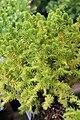 Chamaecyparis pisifera Squarrosa Intermedia 1zz.jpg