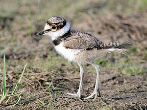 A juvenile Killdeer in Sandy Hook, New Jersey,...