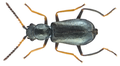 Charopus flavipes (Paykull, 1798) male (16372432077).png
