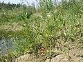 Chenopodium rubrum (s. str.) sl29.jpg