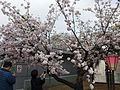 """Cherry-Blossom-Viewing through the """"Tunnel"""" at Japan Mint in 201504 041.JPG"""