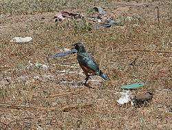 Chestnut-bellied starling Dagana.jpg