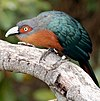 Chestnut-breasted Malkoha2.jpg