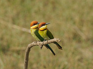 Chestnut-headed Bee-eater 1442.jpg
