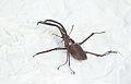 Chiasognathus granti (8387923211).jpg