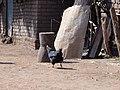 Chicken - panoramio (4).jpg