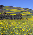 China.rapeseed.fields.JPG