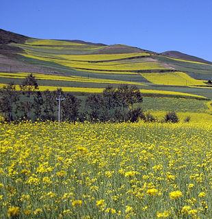 Campi di colza nel Qinghai (Cina)