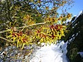 Chinese Witch Hazel at Crathes Castle Gardens - geograph.org.uk - 134635.jpg