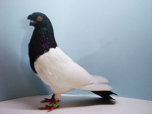 Chinese Flying pigeon - Chinese Flying Pigeon