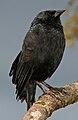 Chopi Blackbird.jpg