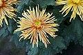 Chrysanthème tokyo.jpg