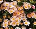 Chrysanthemum (81595).jpg