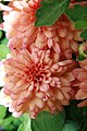 Chrysanthemum x grandiflorum Blushing Emily 1zz.jpg