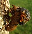 Cicada climbing out of its exoskeleton while attached to tree.jpg