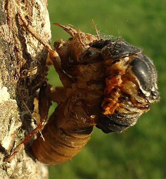 Arthropod - Cicada climbing out of its exoskeleton while attached to tree