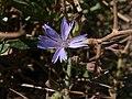 Cichorium spinosum Pembroke Range Malta 05 06 2010 04.jpg